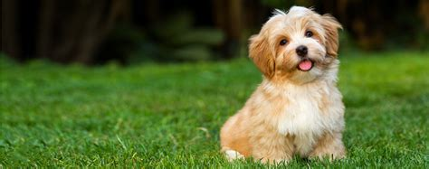 havanese breed temperament havanese breed health history appearance temperament and maintenance