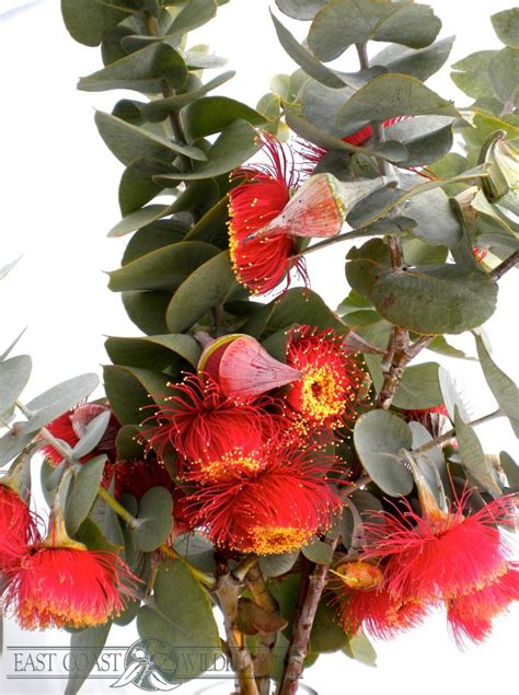 Fantastic Flowers For You All by 33 Best Banksia Images On Australian