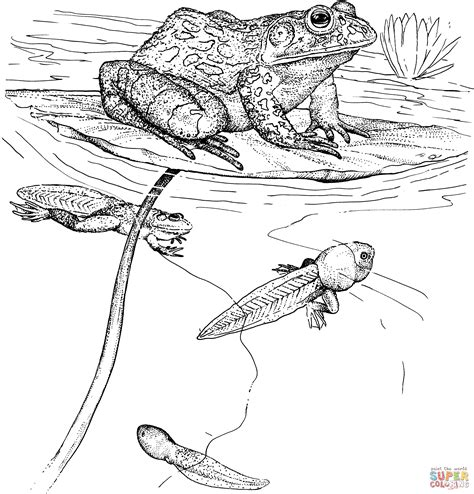 coloring pages tadpole to frog tadpoles and bullfrog coloring page free printable