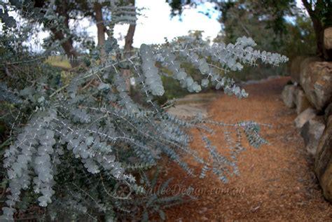 silver leaved beauty eucalyptus pulverulenta