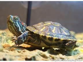 Turtle Tank Ideas Related Keywords & Suggestions   Turtle Tank Ideas
