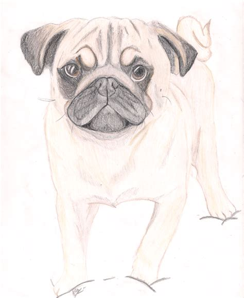 sketch of a pug pug drawing by therainbowdalek on deviantart