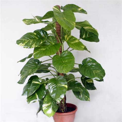 air cleaning plants money plants 5 others greencare