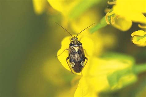 bug indosat januari 2018 when you should consider spraying lygus bugs in your canola