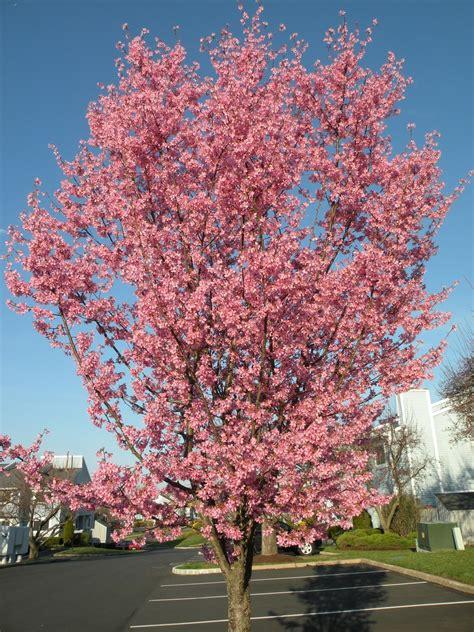 lindsay pindsay pretty things thursday okame cherry tree