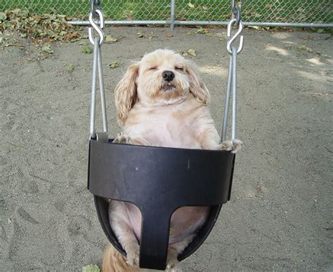 dog in baby swing chubby dog in a baby swing cute