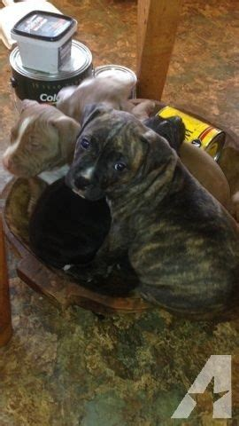 pitbull puppies for sale in louisiana pitbull puppies for sale for sale in kentwood louisiana classified americanlisted
