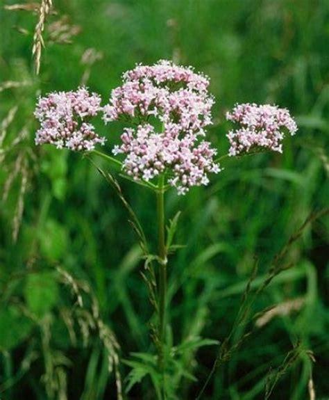 Obat Herbal Remact valerian herb