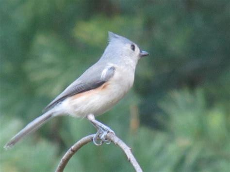 viewing nature  eileen backyard birdtufted titmouse