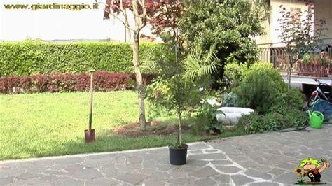 mimosa pianta in vaso mimosa giardino mimosa giardinaggio