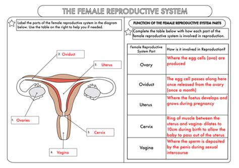reproductive system diagram se 6 gcse worksheets on human reproduction by beckystoke