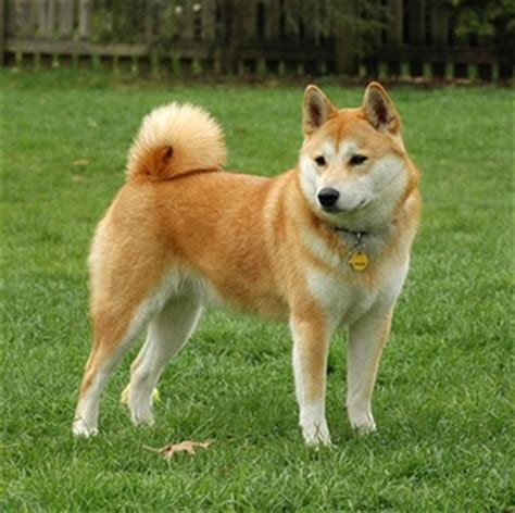 large breed from japan japanese breeds
