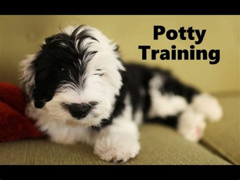 sheepadoodle puppies for sale pa mini shepadoodle puppies for sale hostzin search engine