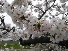 Baixar Home Design 3d Para Pc Crackeado Papel De Parede Cerejeira Branca Em Flor Wallpaper Para