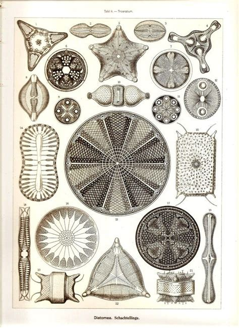ernst haeckel 97 97 best sea shells by the sea shore images on shells clam shells and microscopic