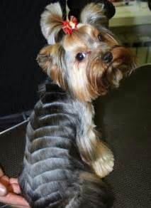 hair cut for tea cup yorkies 25 best ideas about yorkie hairstyles on pinterest