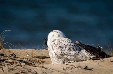 snowy owl irruption wp3 photography