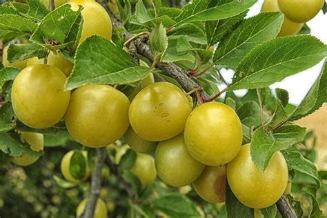 yellow fruit on tree free photo mirabelle plum tree yellow plums free image