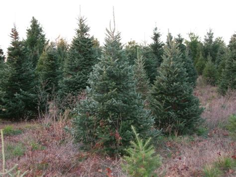collection of christmas trees farm christmas tree