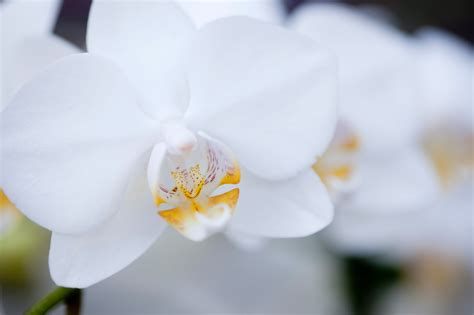 do orchids come back to 28 images white orchid on tree phalanopsis orchids do well tied