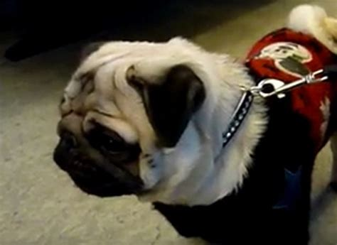 pug barking sound pug hears a mysterious barking how he responds when he can t locate the