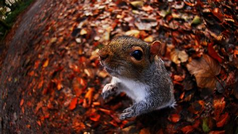 bing pictures as wallpaper squirrel a grey squirrel sciurus carolinensis at tehidy woods