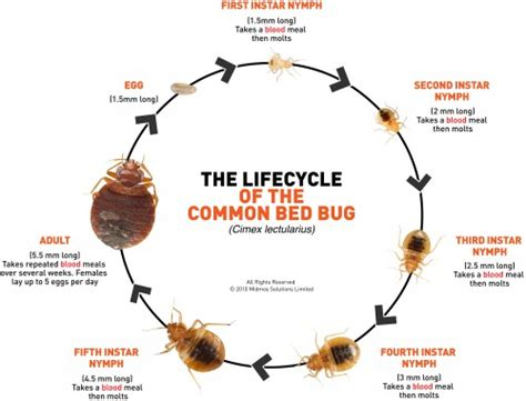 bed bugs pictures stages bed bug larvae stage