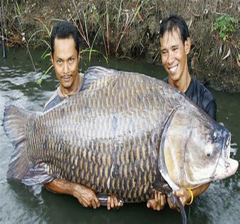 Umpan Untuk Ikan Power Fish umpan tombro 171 world fishing