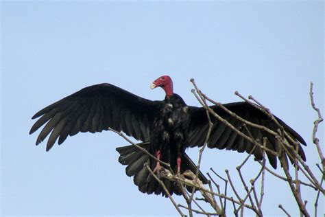 file turkey vulture osa jpg wikimedia commons