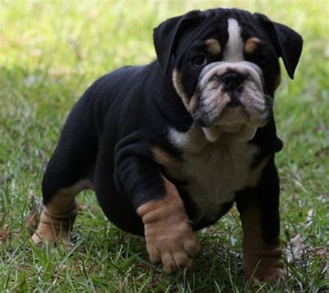bulldogs colors bulldog puppy tri color bully bully