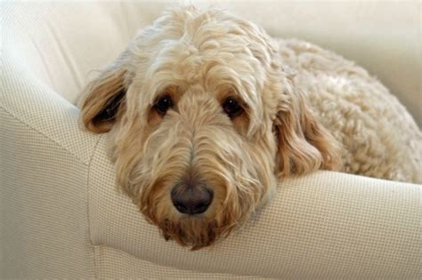 golden retriever goldendoodle mix airedale terrier golden retriever mix with an airedale terrier breeds picture