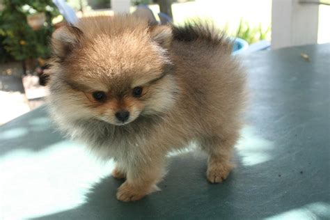 pomeranian personality temperament pomeranian history personality appearance health and pictures