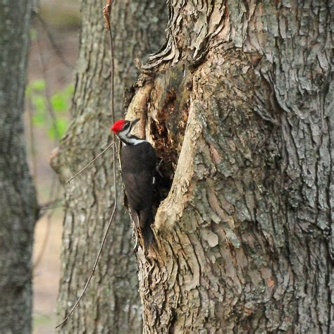 colvin run habitat pileated woodpecker digging for ants