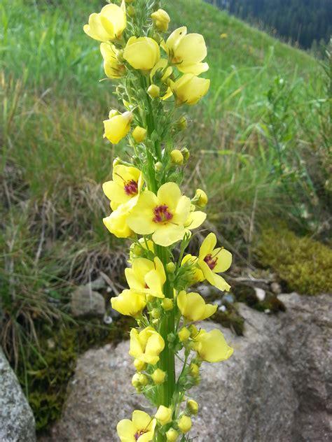 fiori gialli selvatici fiori gialli per te controluce