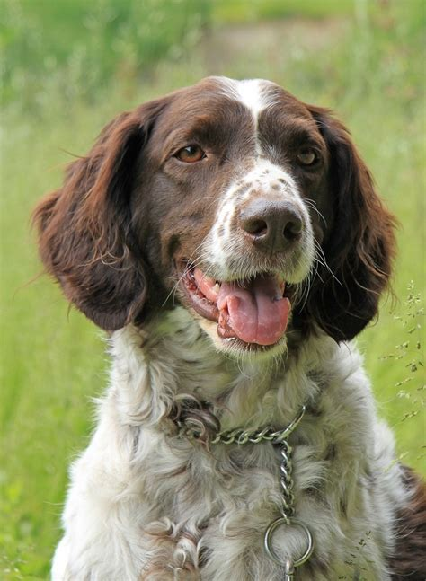 setter pointer dog 1000 images about fci 7 pointers and setters on