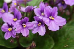african violet african violets plant of the week 01 28 2010 the 4