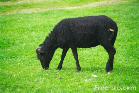 black sheep this or that black sheep pictures free use image 01 48 25 by freefoto com
