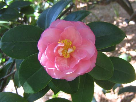 red camellia flower wallpaper 1024x768 resolution fonds d 233 cran fleurs fleurs tropicales fonds d 233 cran gratuit