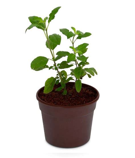 Tulsi Planter by Green Tulsi Herb Plant Available At Snapdeal For Rs 450