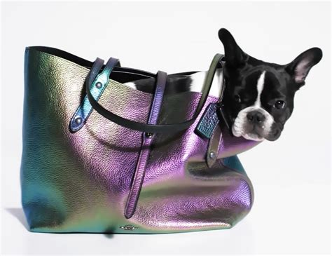 French Bulldog Giveaway - all the cuteness frenchie puppies model for coach love maegan