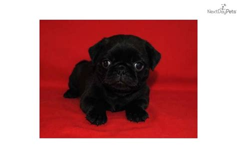 black pugs for sale in missouri pug puppy for sale near southeast missouri missouri 2220499b 1cb1