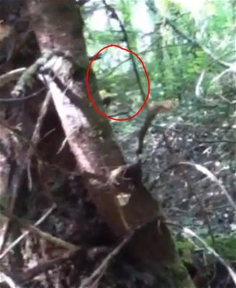 dwarf 'bigfoot' with predator like cloaking ability caught