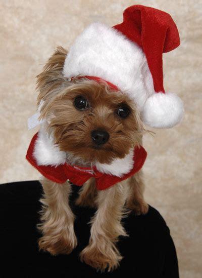 images of christmas yorkies adorable yorkie christmas presents puppies stuff santa