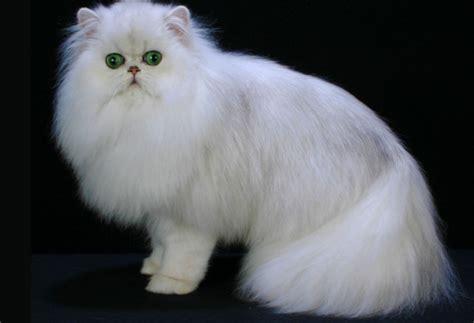 So Untuk Kucing Anggora 4 cara pelihara kucing anggora dengan benar hewan peliharaan