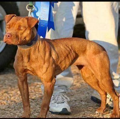 pitbull terriers   pit bulls   pinterest   terrier, pit