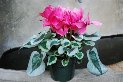 ciclamini in vaso il ciclamino piante appartamento come curare il ciclamino