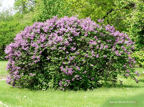lilac tree information opinions on syringa vulgaris