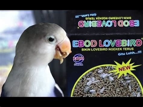Pakan Burung Box Ebod Lovebird Box dunia hobi presentasi pakan burung ebod lovebird