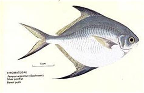 menggapai dunia ikan bawal putih