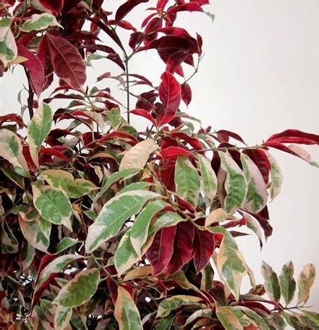 tanaman sambang darah bibitbunga